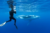 RD1966-D. Humpback Whale (Megaptera novaeangliae), calf swimming near the surface, underwater photographer (model released) captures the moment. Tonga, Pacific Ocean. Photo Copyright © Brandon Cole. All rights reserved worldwide. www.brandoncole.com